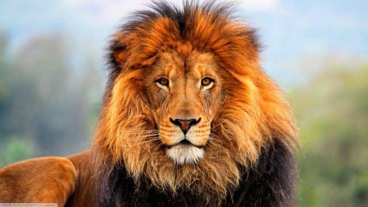 vender como un león